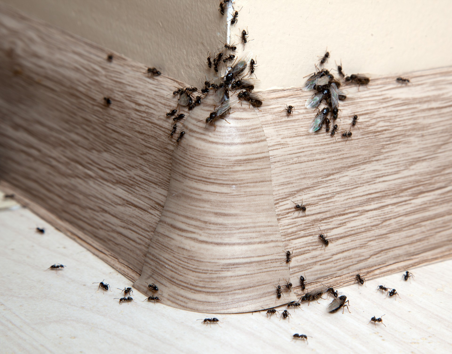 Ant Infestation, Pest Control in Bermondsey, Borough, Southwark, SE1. Call Now 020 8166 9746