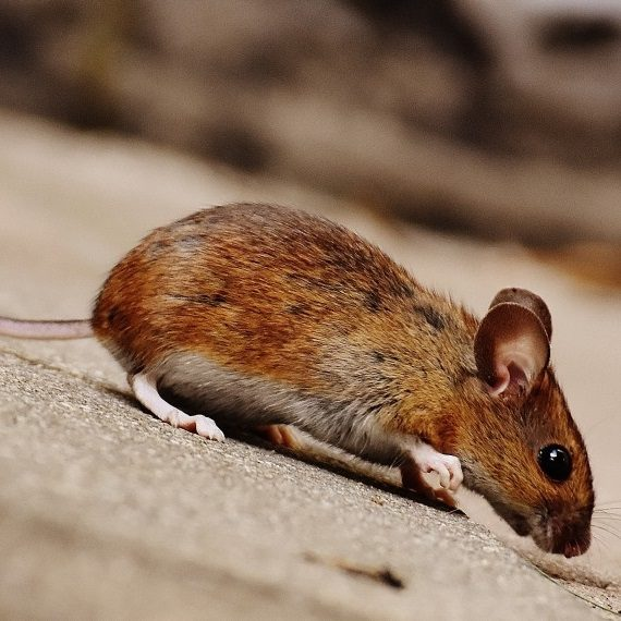 Mice, Pest Control in Bermondsey, Borough, Southwark, SE1. Call Now! 020 8166 9746