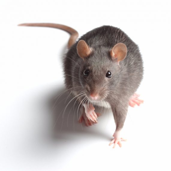 Rats, Pest Control in Bermondsey, Borough, Southwark, SE1. Call Now! 020 8166 9746